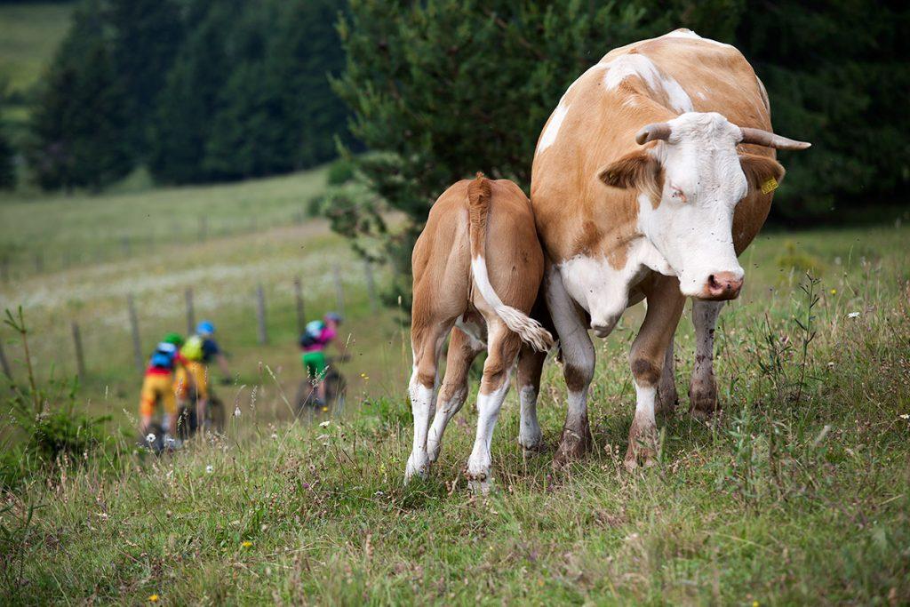 Auf Tour trifft bekommt man oft Gesellschaft von Kühen.
